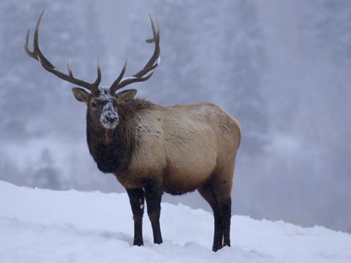 bull elk winter